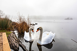 © Licensed to London News Pictures. 05/02/2020. London, UK. A couple of swans enjoy the dense fog at Pen Ponds in Richmond Park this morning as weather experts predict more fog followed by high winds and heavy rain for the weekend. Photo credit: Alex Lentati/LNP