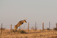 WHITETAIL BUCK JUMPING A FENCE