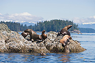 Steller Sea Lions (Eumetopias jubatus) Rookery on The Brothers Islands in Southeast Alaska. Inside Passage. Summer. Afternoon.