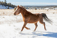 Arabian horse with winter coat running in fresh snow on a field in northern New Mexico, © 2009 David A. Ponton,  [Prints to 8x12, 16x24, 24x36 or 40x60 in. with no cropping]