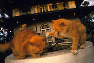 USA, Vereinigte Staaten Von Amerika: Hauskatze (Felis catus domesticus), Felidae, zwei Katzen kämpfen auf dem Brunnen vor dem Hemingway Haus, Hemingway Haus und Museum, Key West, Florida | USA, United States Of America: Domestic cat (Felis catus domesticus), Felidae, two cats fighting on the fountain in front of Hemingway's house, Hemingway Home and Museum, Key West, Florida |
