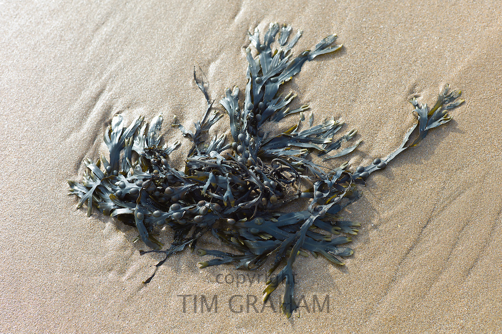 Bladderwrack seaweed, Fucus vesiculosus, on sandy beach at Woolacombe, North Devon, UK