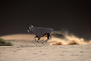 A gemsbok raises dust as it gallops at full speed between dunes in the central Namib desert at Sossusvlei, Namibia.These dunes are amongst the highest in the world, reaching up to 300m.