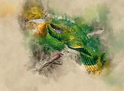 Digitally enhanced Illustration of Eastern Ornate Fruit-dove (ptilopus gestroi now Ptilinopus gestroi) from 1878