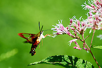 Clearwing Hummingbird Moth on a Joe Pye Weed Bloom. Summer Nature in New Jersey. Image taken with a Nikon D4 and 300 mm f/2.8 VR lens (ISO 100, 300 mm, f/2.8, 1/1000 sec).