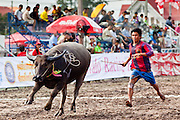 "Oct. 3, 2009 - CHONBURI, THAILAND: A ""jockey"" chases his water buffalo across the finish line during the first day of races at the Chonburi Buffalo Races Festival, Saturday, Oct. 3. Contestants race water buffalo about 200 meters down a muddy straight away. The buffalo races in Chonburi first took place in 1912 for Thai King Rama VI. Now the races have evolved into a festival that marks the end of Buddhist Lent and is held on the first full moon of the 11th lunar month (either October or November). Thousands of people come to Chonburi, about 90 minutes from Bangkok, for the races and carnival midway. Photo by Jack Kurtz / ZUMA Press"