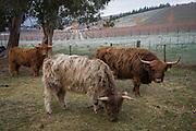 Highland cows, Burn Cottage, Central Otago, New Zealand