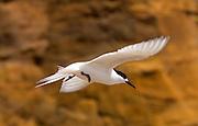 White-fronted tern Sterna Striata) in full flight over a beach near South Head on the Tasman Sea,  North Island, New Zealand