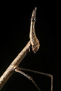 Jumping Stick Insect (Apioscelis sp. Proscopiidae)<br /> Yasuni National Park, Amazon Rainforest<br /> ECUADOR. South America