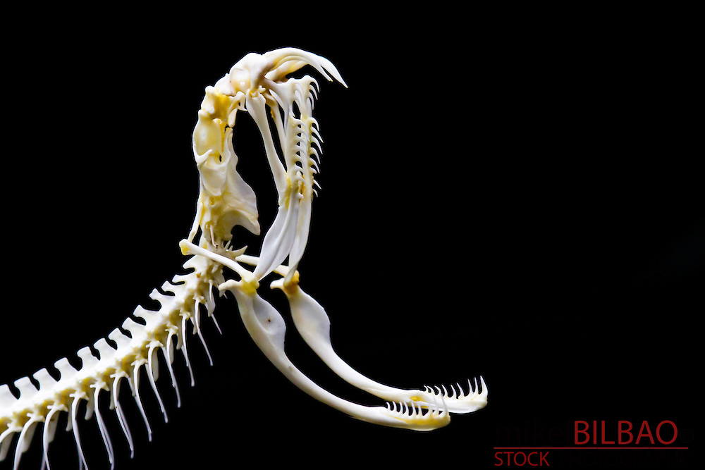 Viper head skeleton