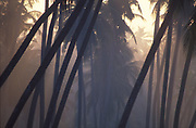 Coconut trees in morning mist along the road to kandy from Colombo.
