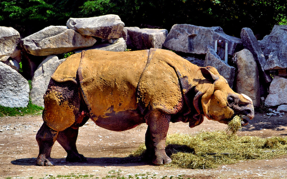 Rhinoceros Covered in Mud Eating Straw at Tierpark Hellabrunn Zoo in Munich, Germany<br /> This Indian rhinoceros is also called the greater one-horn rhino, but this one&rsquo;s horn has been worn down.  Look closely and you&rsquo;ll see the characteristic, wart-like bumps on the skin below the coating of mud.  It is hard to believe that an animal that averages 3,500 pounds can run faster than 30 m.p.h.  Niko and Rapti are a couple who live at the Hellabrunn Rhino House in Munich, Germany.