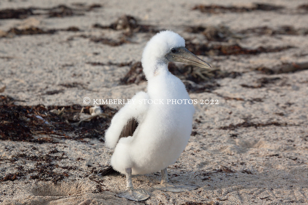 A young Brown Booby chick on Adele Island in the Buccaneer Archipelago.