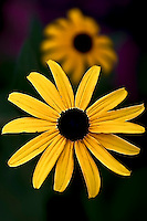 Maryland state flower, Black-Eyed Susan, in full bloom in Washington Grove, MD.  Copyright 2008 Reid McNally.