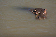 Hippo bathing in river, Masai Mara, Kenya
