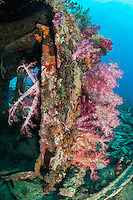 Vibrant Soft Coral growth on the rusted out hull of an Allied WWII landing craft.<br /> <br /> Shot in Indonesia