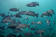 Gray Snapper, Underwater