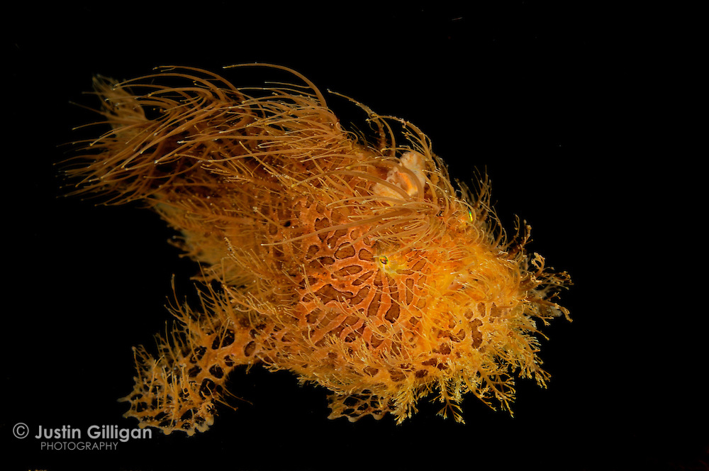 Hairy frogfish (Antennarius striatus), photographed in Lembeh Strait, Sulawesi, Indonesia.