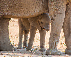 A baby elephant stands protected beneath the body of it's mother at Mana Pools, Zimbabwe