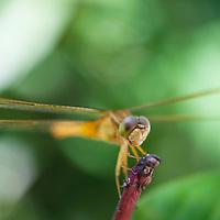 A female Parasol<br /> Dragonfly, Neurothemis fluctuans,Tanjong Jara Resort, Terengganu, Malaysia.