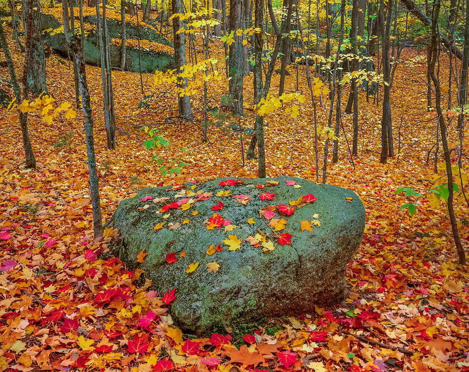 Forest in fall with erratic boulder and maple leaves, Hillsborough, NH