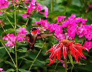 male humming bird,dorset,vt, feeding on beebaum and phlox