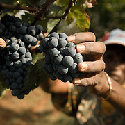 Harvesting at the Grover Vineyards at Nandi Hills outside of Bangalore, Karnataka. Grover Vineyards is one of the most respected and reviewed wineries emerging in India.