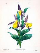 19th-century hand painted Engraving illustration of Cypripedium Calceolus, Sabot des Alpes,  Lady-Slipper, Ladies' slipper orchid by Pierre-Joseph Redoute. Published in Choix Des Plus Belles Fleurs, Paris (1827). by Redouté, Pierre Joseph, 1759-1840.; Chapuis, Jean Baptiste.; Ernest Panckoucke.; Langois, Dr.; Bessin, R.; Victor, fl. ca. 1820-1850.