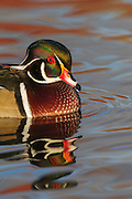 Stock image of wood duck captured in Colorado.  The wood duck has no close relatives in the Americas.  It is in the same genus of the Mandarin Duck in Eastern Asia.