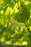 New growth grapes Orion growing on grapevine at La Mare Wine Estate Jersey, Channel Isles