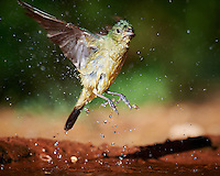 Female Painted Bunting Leaving After a Bird Bath at Campos Viejos Ranch in Southern Texas. Image taken with a Nikon D4 camera and 600 mm f/4 VR lens (ISO 500, 600 mm, f/5.6, 1/2000 sec).