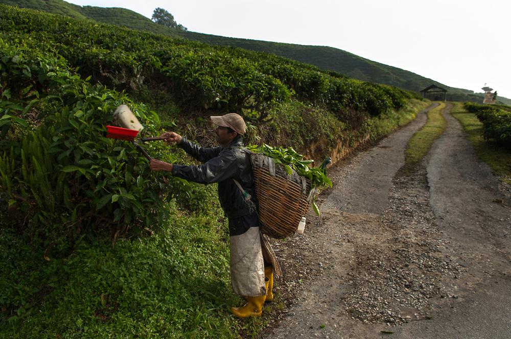 Best of Highlands Tea Plantation, Cameron Highlands, Malaysia