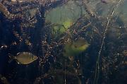 Lobetoothed Piranha (Pygopristis denticulata)<br /> Permanent Freshwater Pond<br /> Karanambu<br /> Rupununi<br /> GUYANA<br /> South America