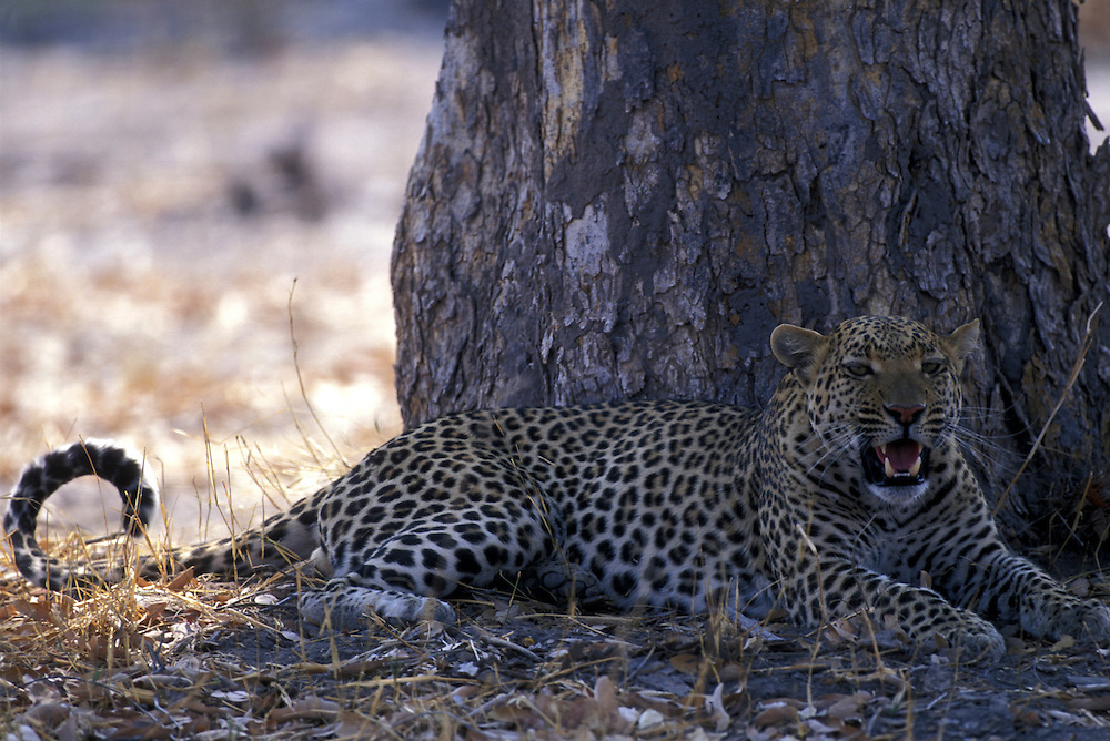 Botswana, Moremi Game Reserve, Adult Male Leopard (Panthera pardus) rests in shade of tree near Khwai River