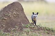 Bat-eared fox<br /> Otocyon megalotis<br /> Masai Mara Triangle, Kenya