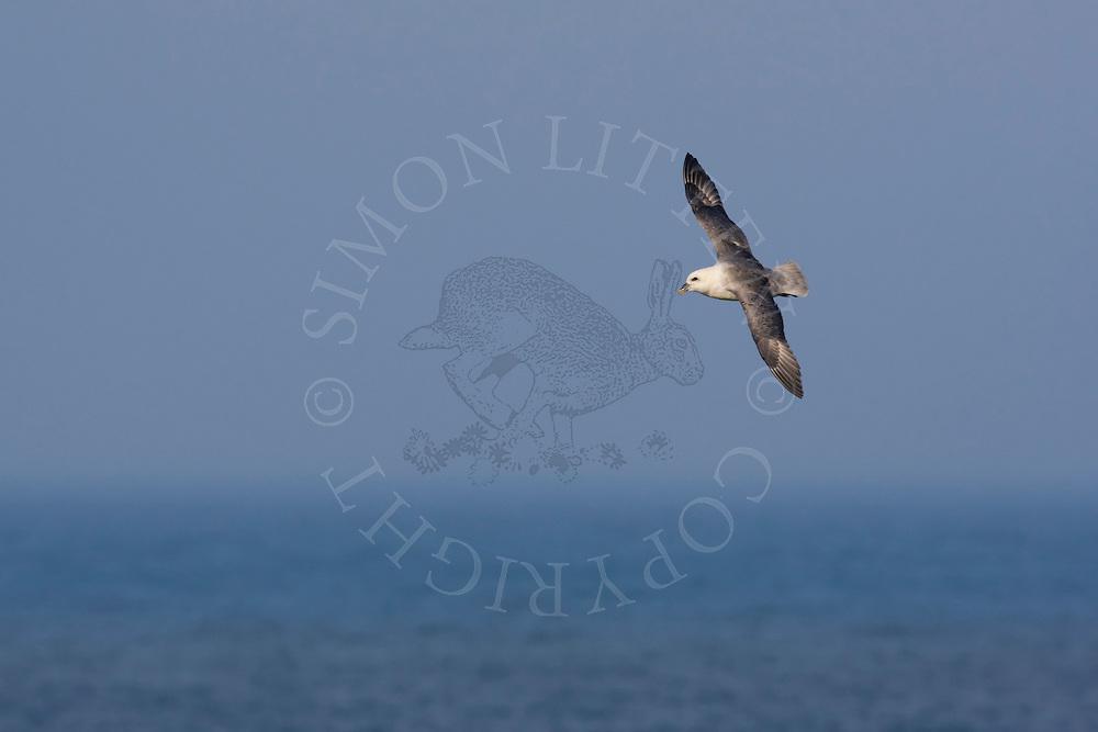 Northern Fulmar (Fulmaris glacialis) adult in flight over sea, Northumberland, England