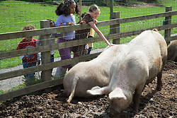 Children looking at pigs on a visit to a city farm,