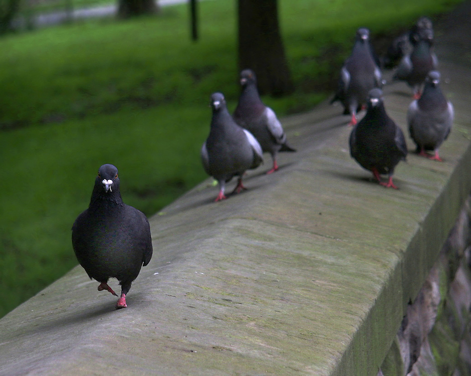 Pigeons on the Prospect Park wall playing follow the leader.
