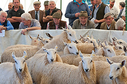 © Licensed to London News Pictures. 13/09/2019. Llanelwedd, Powys, UK. The auction of Welsh mule sheep gets under way at Llanelwedd in Powys, Wales, UK. The commercial breeding Welsh mule ewe is a cross between a Blue-faced Leicester ram and either a Beulah speckled faced  ewe or a Welsh mountain ewe. Photo credit: Graham M. Lawrence/LNP