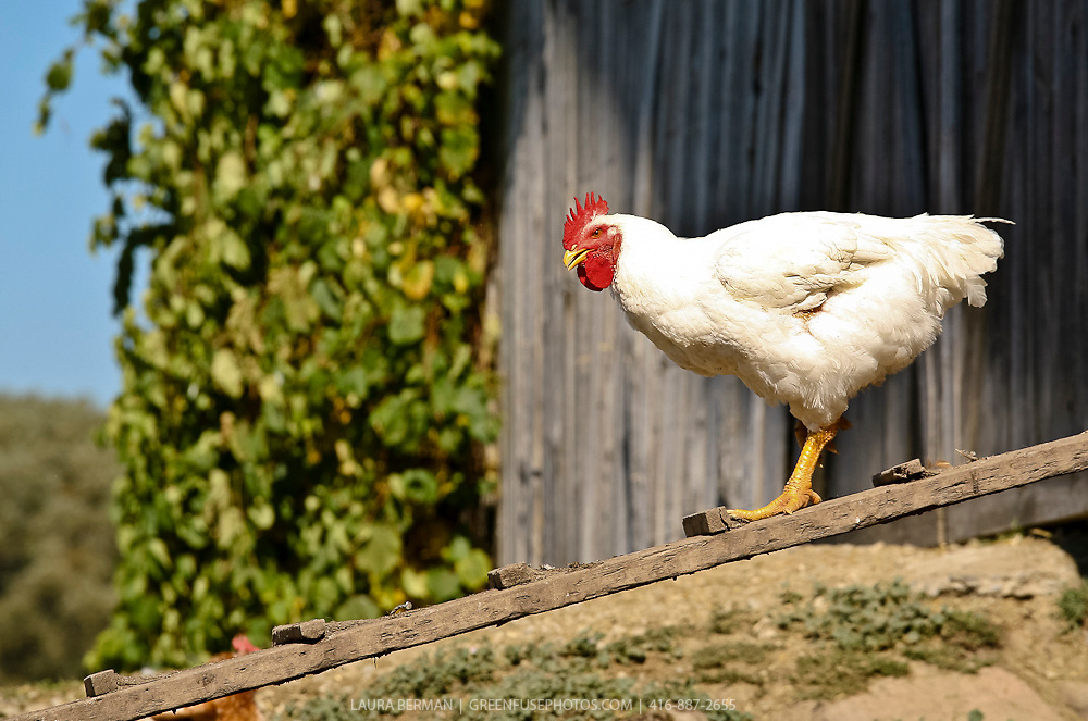 A white chicken with bright red comb and wattle and yellow beak and legs, paces back and forth on a ramp in and out of her barn.