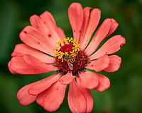 Bee on a Zinnia Flower. Image taken with a Fuji X-H1 camera and 80 mm f/2.8 macro lens (ISO 200, 80 mm, f/4, 1/1000 sec).