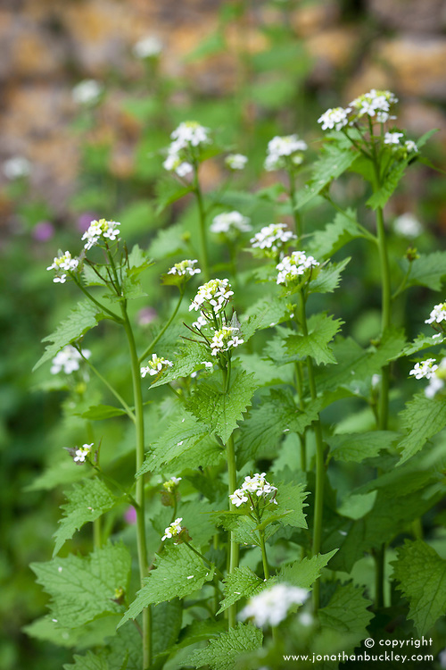 Garlic mustard, Jack by the hedge. Allaria petiolata