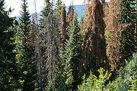Conifer trees in Idaho infested by the Mountain Pine Beetle.