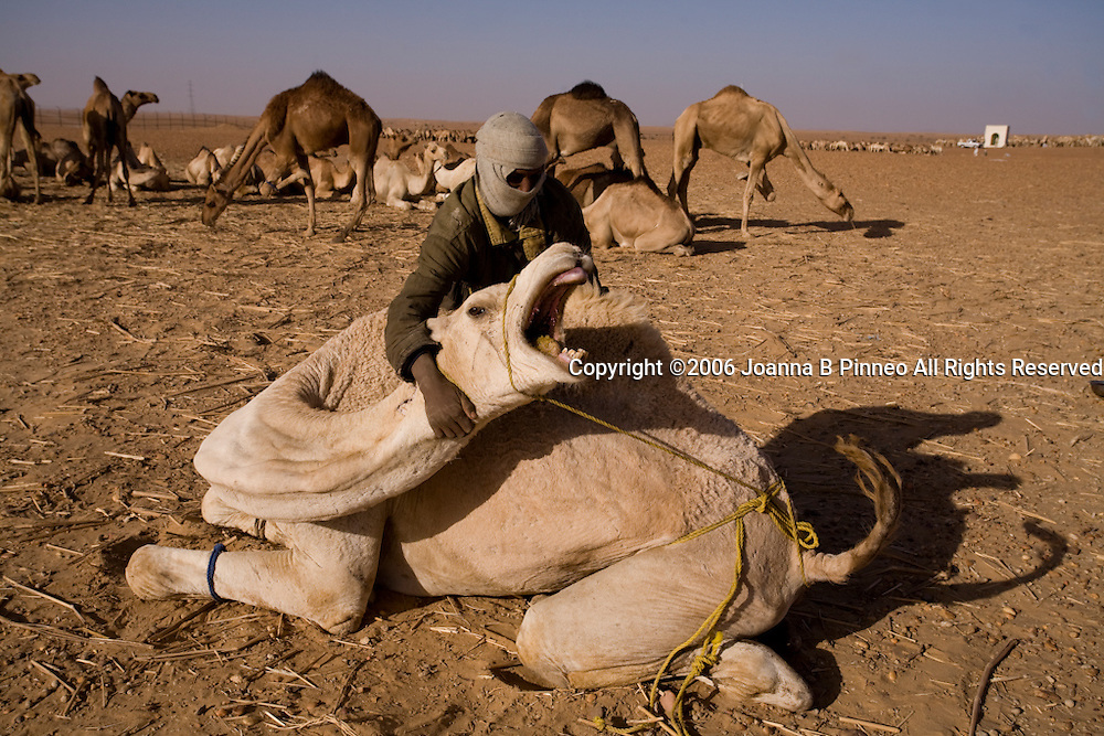 The stop at Dongola, Sudan is a good time for camel foot repair. Later the camel groups leave together for the border.