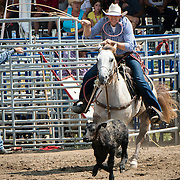 A cowboy shows his lasso skills by catching a young galloping veal.