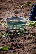 potato planting 2015
