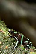 Green and Black Poison Frog (Dendrobates auratus), Chagres National Park, Panamá
