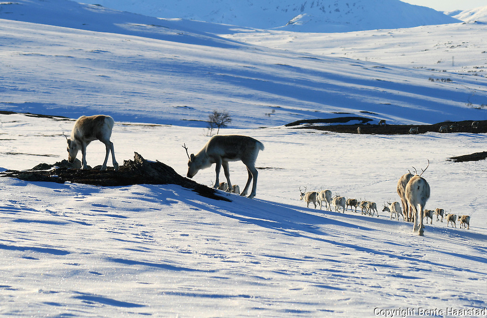 Reindeer herding in Mid-Norway. Mowing to summerpastures. Saanti Sijte, Essand reinbeitedistrikt.