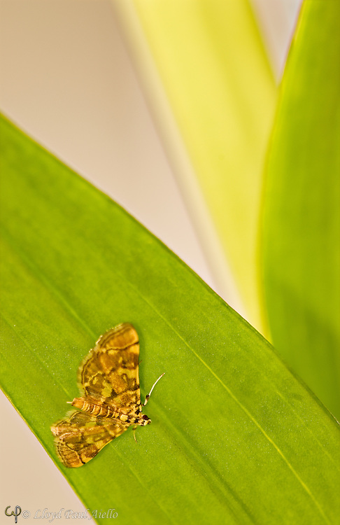 A brown moth (possibly Archips argyrospila) hides under an Asian Lilly leaf.