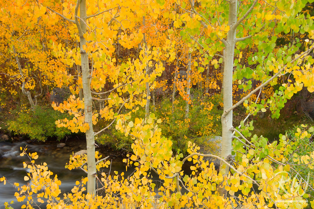 Aspen Fall Foliage Along Middle Fork of Bishop Creek, Inyo National Forest, California